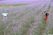 薰衣草--晓友摄影